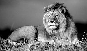 Black And White Photos Of Lions
