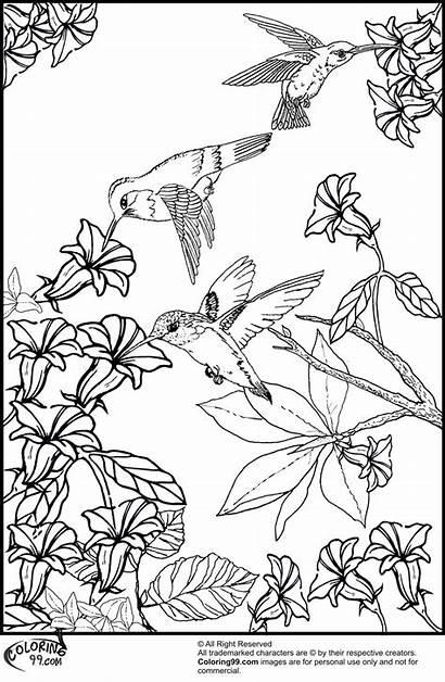 Coloring Hummingbird Pages Printable Bird Humming Birds