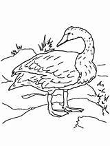 Swan Coloring Gaddynippercrayons Swans Animal sketch template