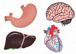Set Of Human Organs  Brain  Heart  Liver  Stomach  U2014 Stock