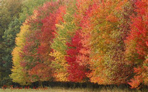 fall colors trees tree row fall colors wetlandsplendors com