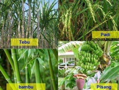 pengertian ciri ciri tumbuhan monokotil beserta contohnya