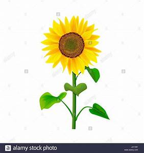 Sunflower Flower Or Helianthus Isolated With Stem And