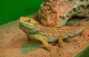 Bearded Dragon Lizards Infect 132 With Salmonella - NBC News