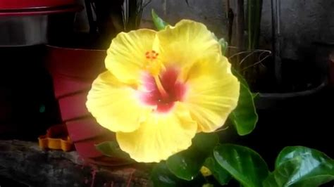 what color is hibiscus yellow color hibiscus flower plant