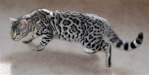 Pin Silver-bengal-cats-and-gold-kittens-for-sale-photos-of ...