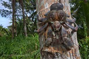 Halloween Hermit Crab Size by The Coconut Crab Lives On Land And Climbs Trees To Eat