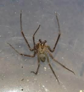 Brown Recluse Spider Texas