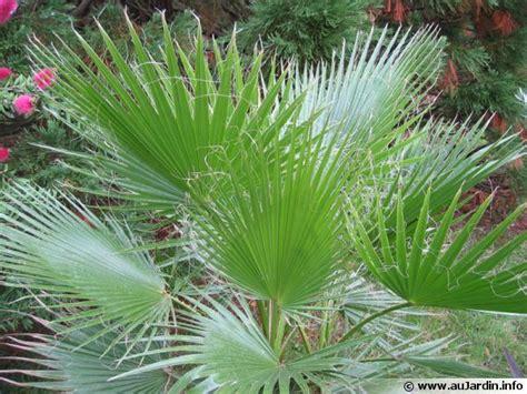 cuisiner en ligne palmier à jupon palmier de californie washingtonia filifera