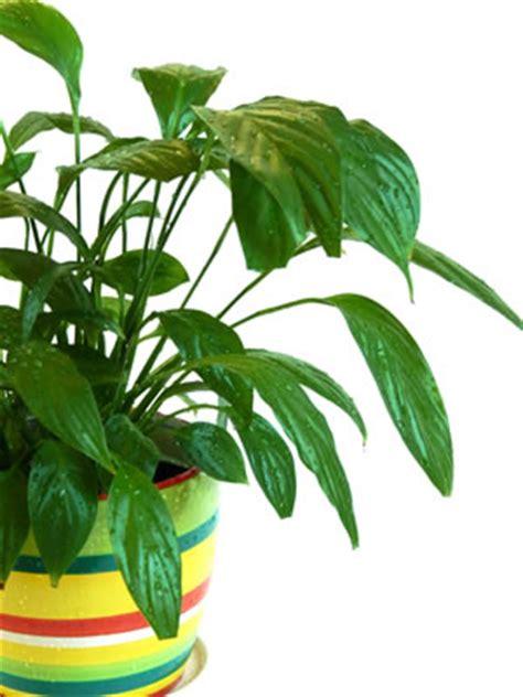 Zimmerpflanze Einblatt Haltung Pflege by Beliebte Zimmerpflanzen