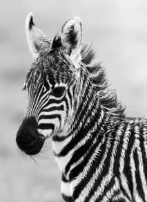 Baby Black and White Zebra Photography