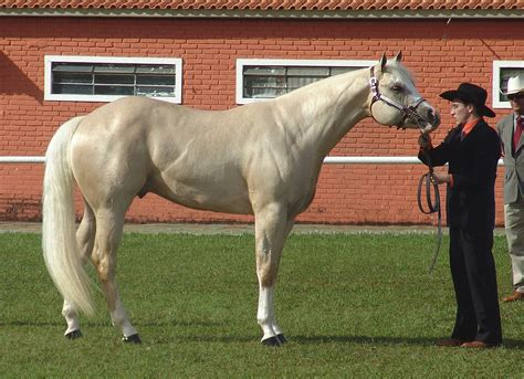 quarter horse american wikipedia horses palomino breeds halter conformation milha quarto its commons breed tall names colors america qh caballos