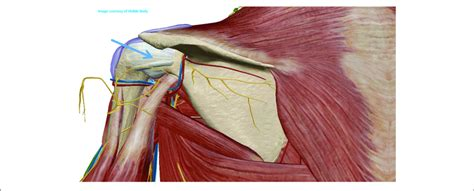 The anterior deltoid, the lateral deltoid, and the posterior deltoid.   Posterior approach of the shoulder joint.   Download Scientific Diagram
