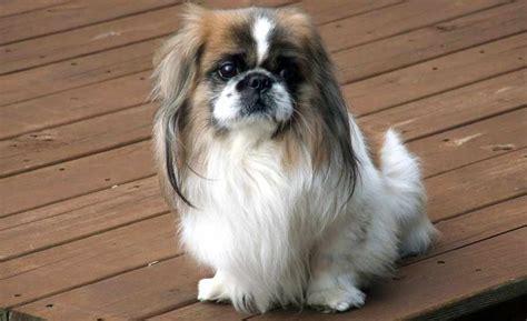 pekingese dog breed standards