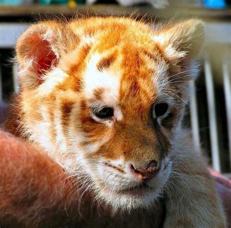 Golden Tiger Cub Cakes Recipes Pinterest
