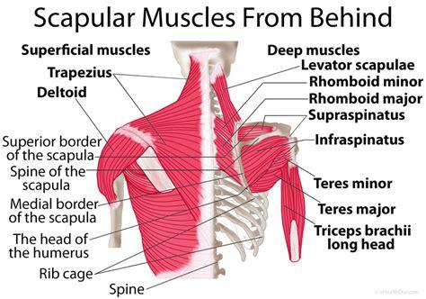 scapula shoulder blade muscles  true form chiropractic