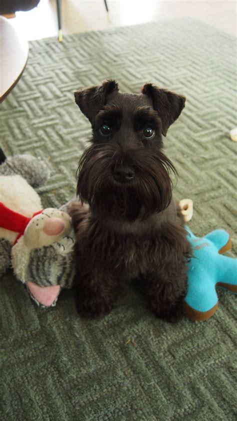 schnauzer dog names