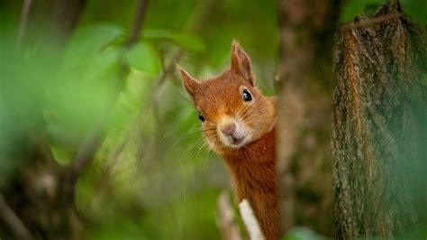 eurasian red squirrel hd squirrel wallpapers hd