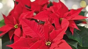 Lang Blühende Pflanzen : weihnachtsstern pflege f r lange bl hende pflanzen bild der frau ~ Eleganceandgraceweddings.com Haus und Dekorationen