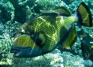 Does the Titan Triggerfish Attack Divers? | Reeftraveler