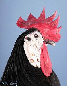 Backyard Poultry By Andy Vardy 2015 Personal Blog