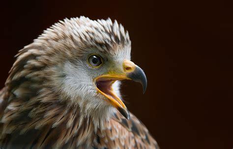 white  black eagle  stock photo