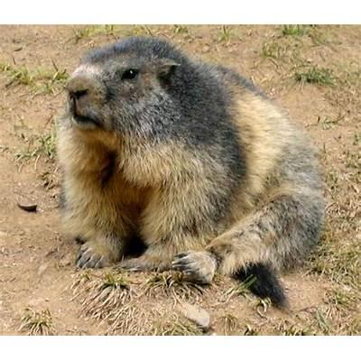 File:Marmot in France.jpg - Wikipedia