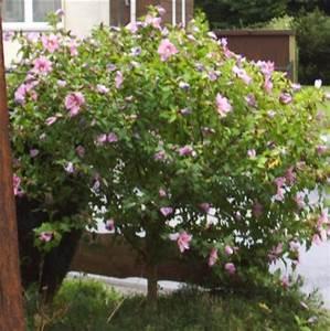 Was Ist Das Für Ein Baum : was ist das f r eine blume baum gartenhibiskus pflanzenbestimmung pflanzensuche green24 ~ Buech-reservation.com Haus und Dekorationen