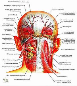Neck Muscle Diagram