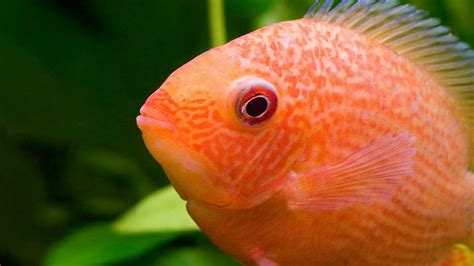 red fish spotted severums   brazil   amazon