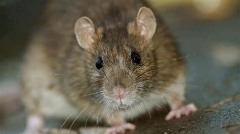 ratten im garten vertreiben ratten bek 228 mpfen und vertreiben tipps gegen ratten im haus