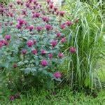 Tröpfchenbewässerung Selber Bauen : blumen und stauden als sichtschutz garten pflanzen ~ Lizthompson.info Haus und Dekorationen