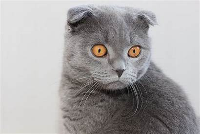 Fold Scottish Cat Eyes Brown Gray Cats