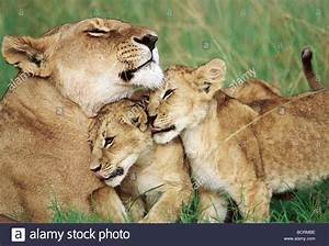 Lioness cuddling two 2 cubs Masai Mara National Reserve ...