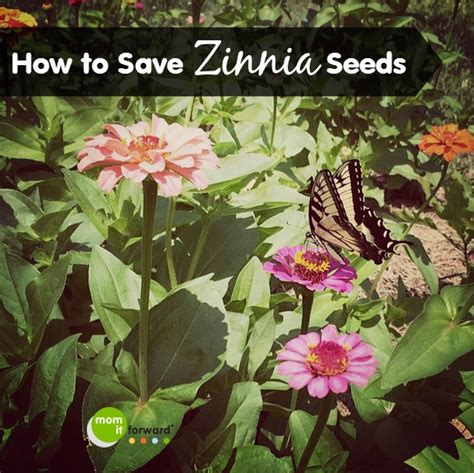 how to save zinnia seeds how to save zinnia seeds mom it forward
