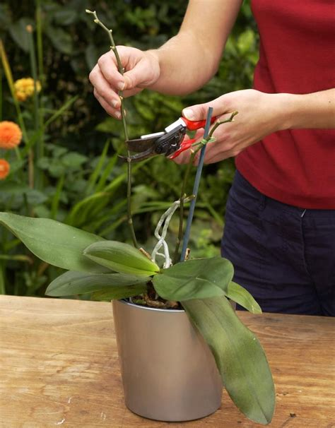 Topfpflanzen Giessen Und Richtig Pflegen by Die 5 Goldenen Regeln Der Orchideenpflege Orchideen