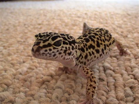 leopard gecko the life of animals