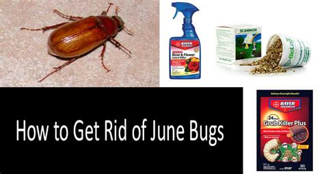 how to get rid of june beetles how to get rid of june bugs with top 9 killers
