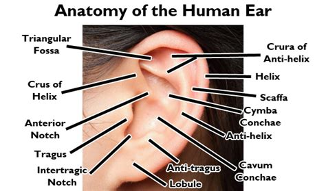Lobe Ear Piercing Diagram by New And Needs Advice On A Lot Of Future Piercings