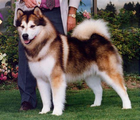 image gallery kodiak dog