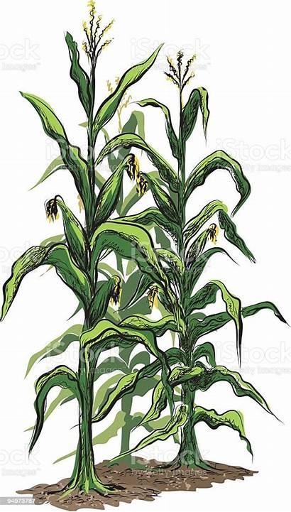 Corn Stalks Clipart Stalk Tassels Isolated Fall