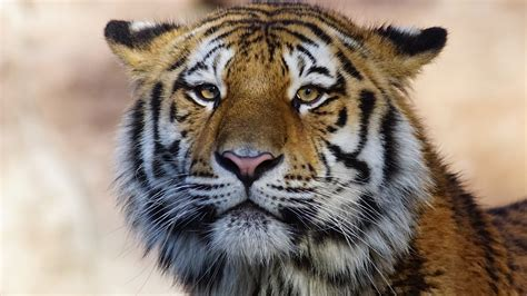 tiger wild animal  hd animals  wallpapers images