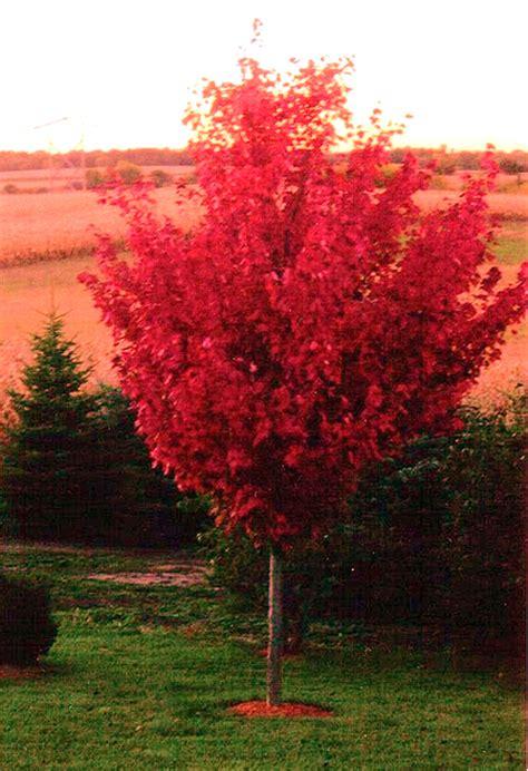 autumn blaze maple autumn blaze maple trees autumn crafts picture