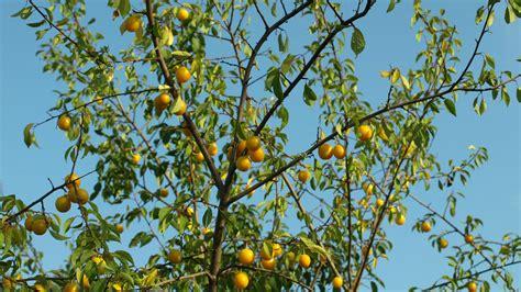 Mirabellenbaum Pflanzen, Pflegen Und Schneiden