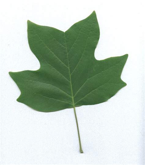 Identifying Yellow Poplar in North American Trees