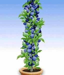 Säulen Pflanzen Winterhart : s ulen pflaume black amber von baldur garten auf kaufen ~ Frokenaadalensverden.com Haus und Dekorationen