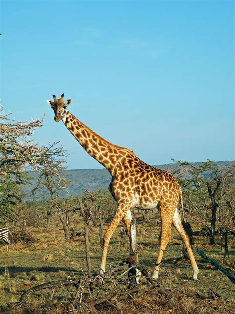 giraffes win international protections  limit