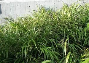 Bodendecker Statt Gras : hakonechloa macra japangras bodendecker ziergras ~ Sanjose-hotels-ca.com Haus und Dekorationen
