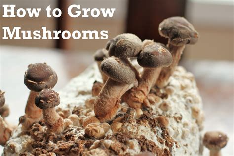 how do mushrooms grow how to grow shiitake mushrooms at home