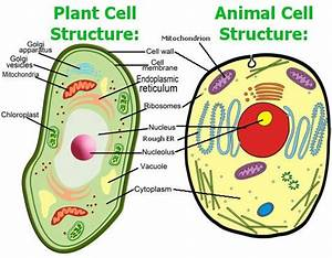 Plant And Animal Cell Diagrams